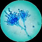 Submerse Pilzkultur